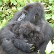 I gorilla gemelli nati in Ruanda 3