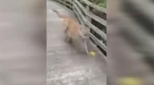 Incontra una pantera mentre passeggia 4