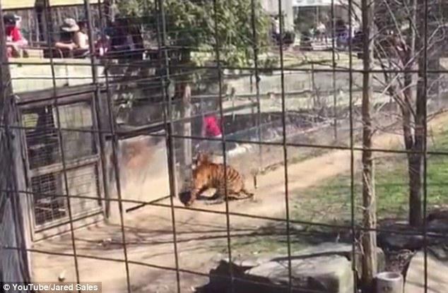 Nel recinto della tigre per riprendersi il cappello3