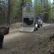 VIDEO YOUTUBE Orso liberato nel bosco: esce da gabbia e... 5