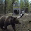 VIDEO YOUTUBE Orso liberato nel bosco: esce da gabbia e... 6