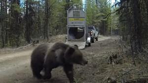 Guarda la versione ingrandita di VIDEO YOUTUBE Orso liberato nel bosco: esce da gabbia e…