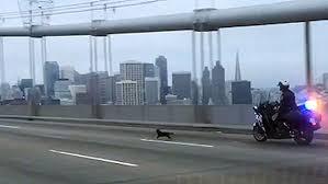 Polizia insegue chihuahua sul ponte di San Francisco