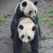 Stimolano femmina di panda per accoppiamento