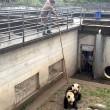 Stimolano femmina di panda per accoppiamento3