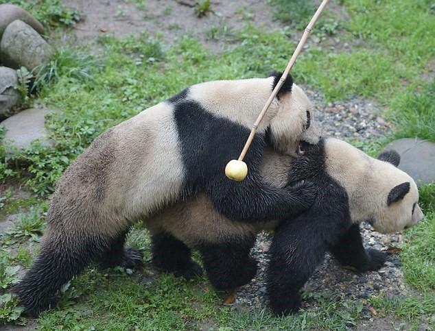 Stimolano femmina di panda per accoppiamento2