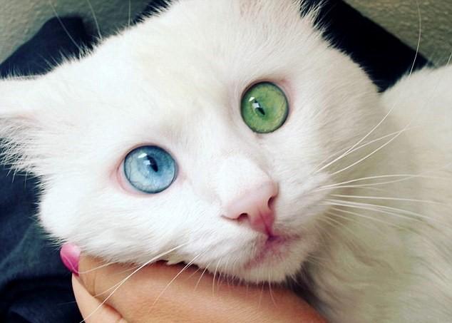 Turchia il gatto con un occhio verde ed uno blu foto for Gatti con occhi diversi