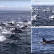 YOUTUBE Delfini, un migliaio scappano dalle orche marine5