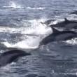 YOUTUBE Delfini, un migliaio scappano dalle orche marine4