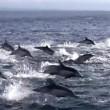 YOUTUBE Delfini, un migliaio scappano dalle orche marine3