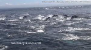 YOUTUBE Delfini, un migliaio scappano dalle orche marine2