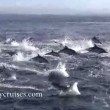 YOUTUBE Delfini, un migliaio scappano dalle orche marine
