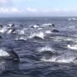 YOUTUBE Delfini, un migliaio scappano dalle orche marine7