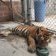 Tigre col guinzaglio trovata in strada in Texas