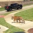 Tigre col guinzaglio trovata in strada in Texas4