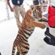 Tigre col guinzaglio trovata in strada in Texas3