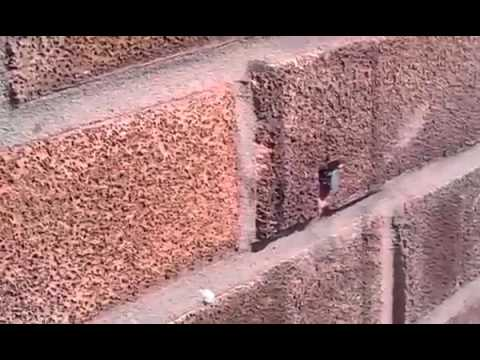 Super ape rimuove chiodo dalla parete 2