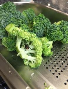 Guarda la versione ingrandita di Ragno Redback trovato nel broccolo in Australia FOTO