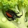 Australia, pericoloso ragno Redback nel broccolo