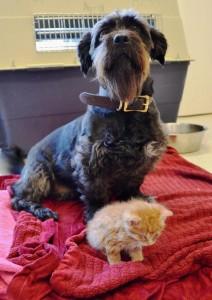 Guarda la versione ingrandita di Usa, cane salva gattini con una trasfusione di sangue