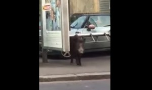 VIDEO YouTube, cinghiale alla fermata del bus a Genova