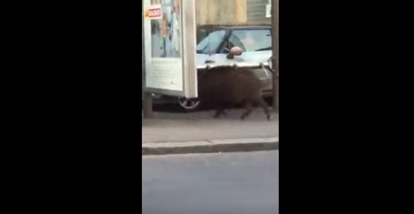 VIDEO YouTube, cinghiale alla fermata del bus a Genova3
