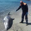 Sardegna, delfino ucciso da sub e fatto a pezzi FOTO 3