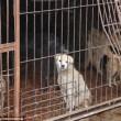 FOTO-VIDEO: Cina, cani e gatti cucinati al festival del cibo06