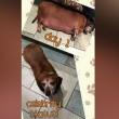 Fat Vincent, bassotto obeso testimonial ha perso 10 kg3