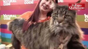 Guarda la versione ingrandita di Titanic Felix Coon: i gatti più grandi del mondo