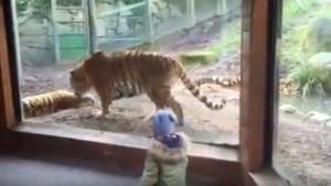 Tigre ruggisce allo zoo, bambina scappa terrorizzata3