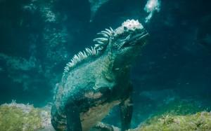 "VIDEO YOUTUBE ""Godzilla"" marino: iguana gigante sott'acqua"