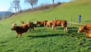 YouTube - Mucche tornano al pascolo: corse e salti di gioia
