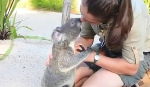 Koala rimasto orfano abbraccia la guardiana del parco