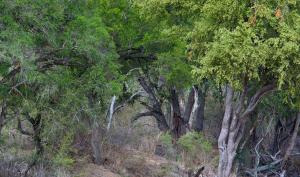 Guarda la versione ingrandita di Foto-indovinello: riesci a vedere i leopardi nella foresta?