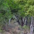 Foto-indovinello: riesci a vedere i leopardi nella foresta? 2