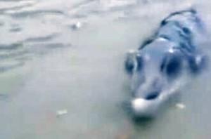Pesce misterioso mezzo coccodrillo e mezzo delfino4