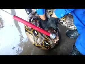 YouTube: pitone da record in Malesia, lungo oltre 7 metri
