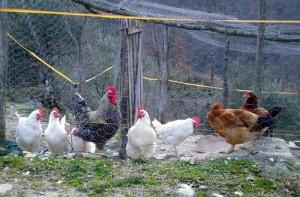 Ladro di galline colpito da freccia di balestra-antifurto