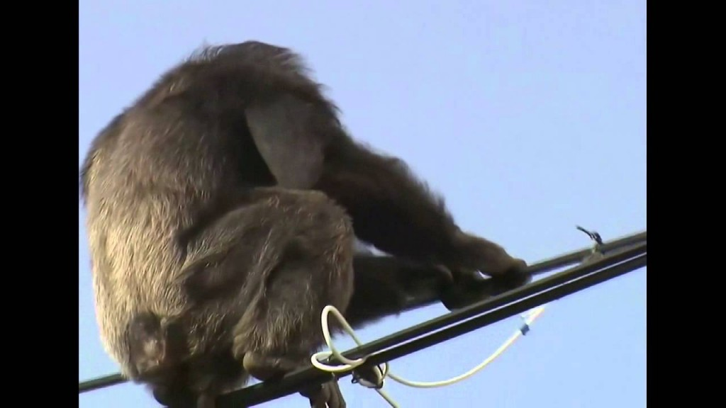 scappa da zoo e si arrampica su fili luce