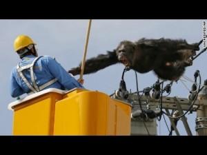 Guarda la versione ingrandita di YOUTUBE Scimpanzè scappa da zoo e si arrampica su fili luce