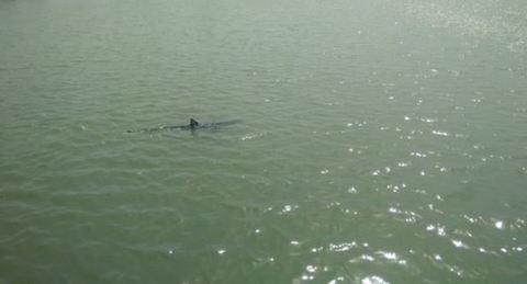 Ostia, squalo lungo 2 metri nuota in foce Tevere FOTO