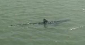 Guarda la versione ingrandita di Ostia, squalo lungo 2 metri nuota in foce Tevere FOTO