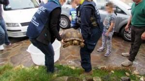 Roma, tartaruga di 40 chili in strada FOTO