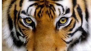 Tigri alla riscossa: popolazione aumenta, eran secoli che...