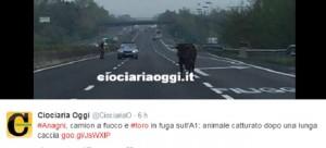 Guarda la versione ingrandita di Anagni, incendio camion: animali carbonizzati, toro in A1 (foto da Twitter)