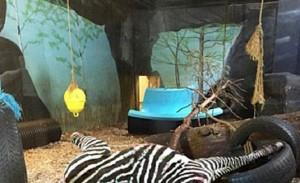 Zoo Norvegia: zebra data in pasto a tigri davanti a turisti