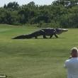 Alligatore gigante su campo da golf della Florida5