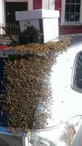 Ape regina nel bagagliaio: 20mila insetti su auto13