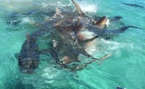 Balena divorata da 70 squali tigre, drone riprende66